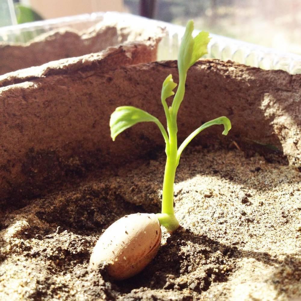 Выращивание гинкго билоба из семян 100