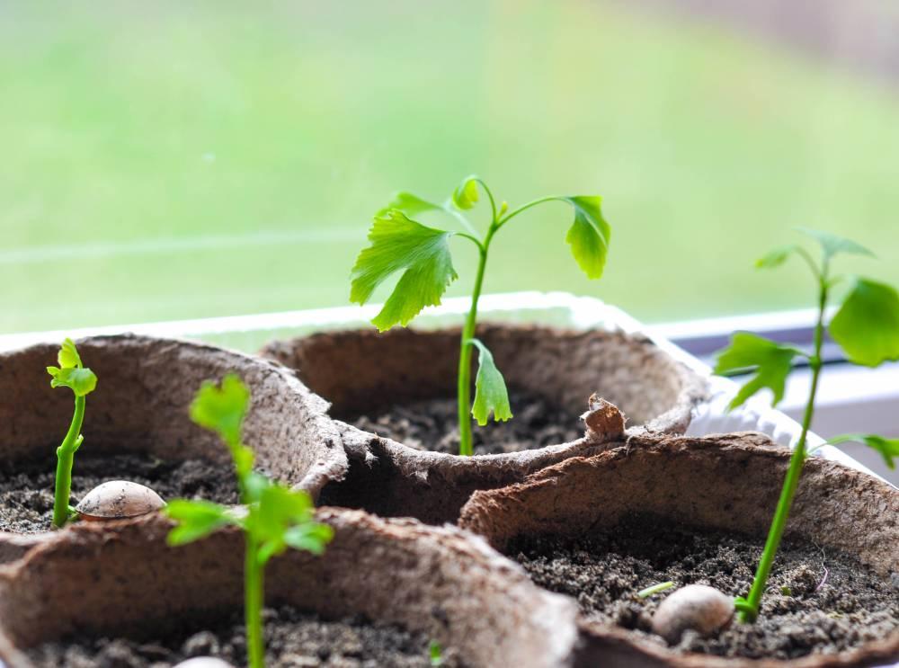 Выращивание гинкго билоба из семян 42