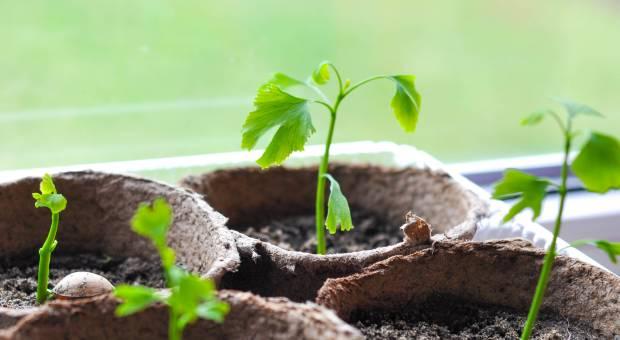 Выращивание гинкго билоба из семян 61