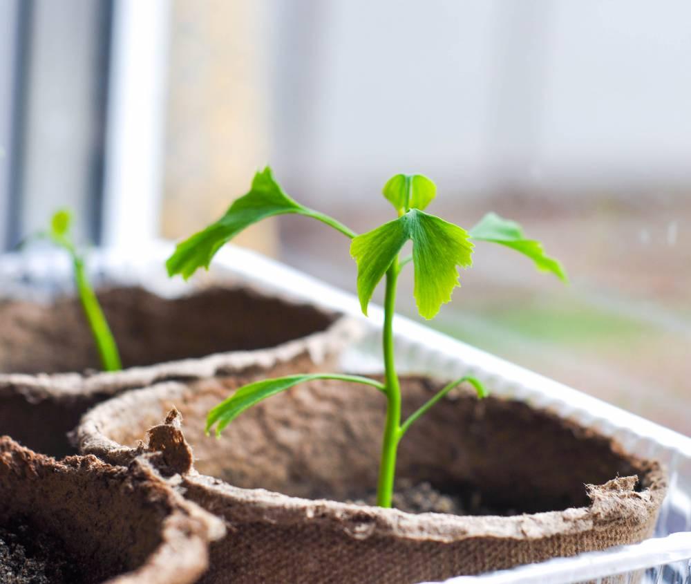 Выращивание гинкго билоба из семян 65