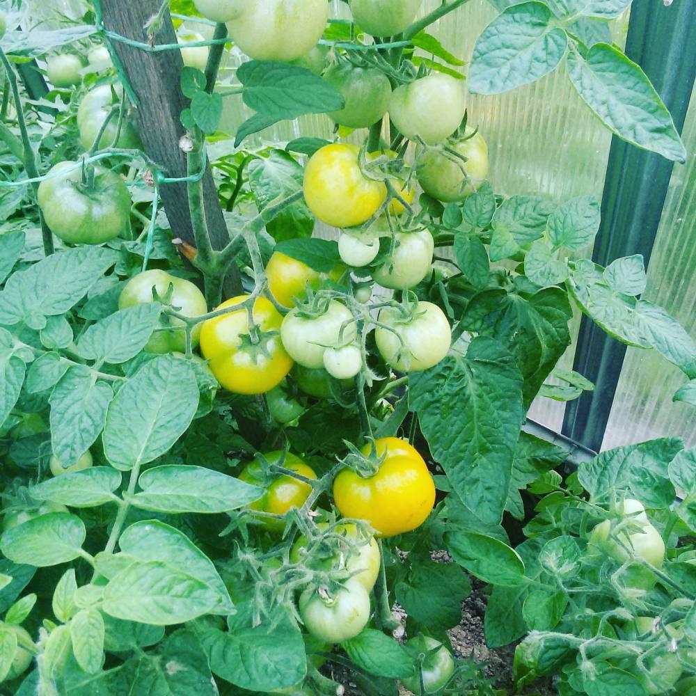 входит томат оля отзывы и фото самых известных