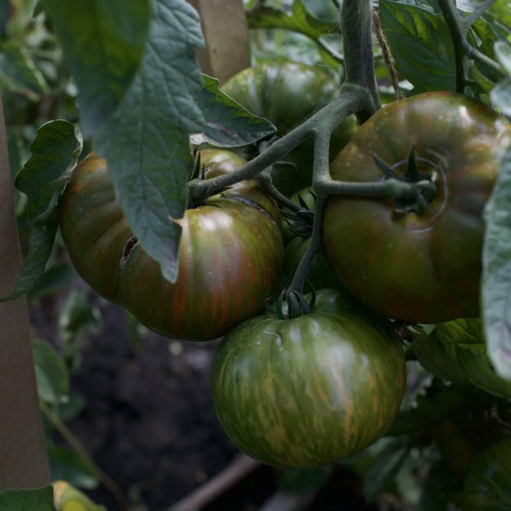 твой жизненный полосатые томаты сорта фото тесто для