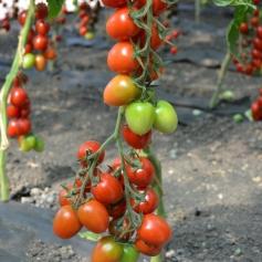 черри ира томат отзывы фото