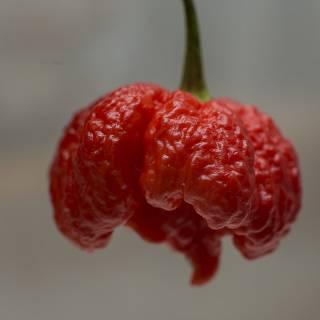 каролина рипер Carolina Reaper купить семена
