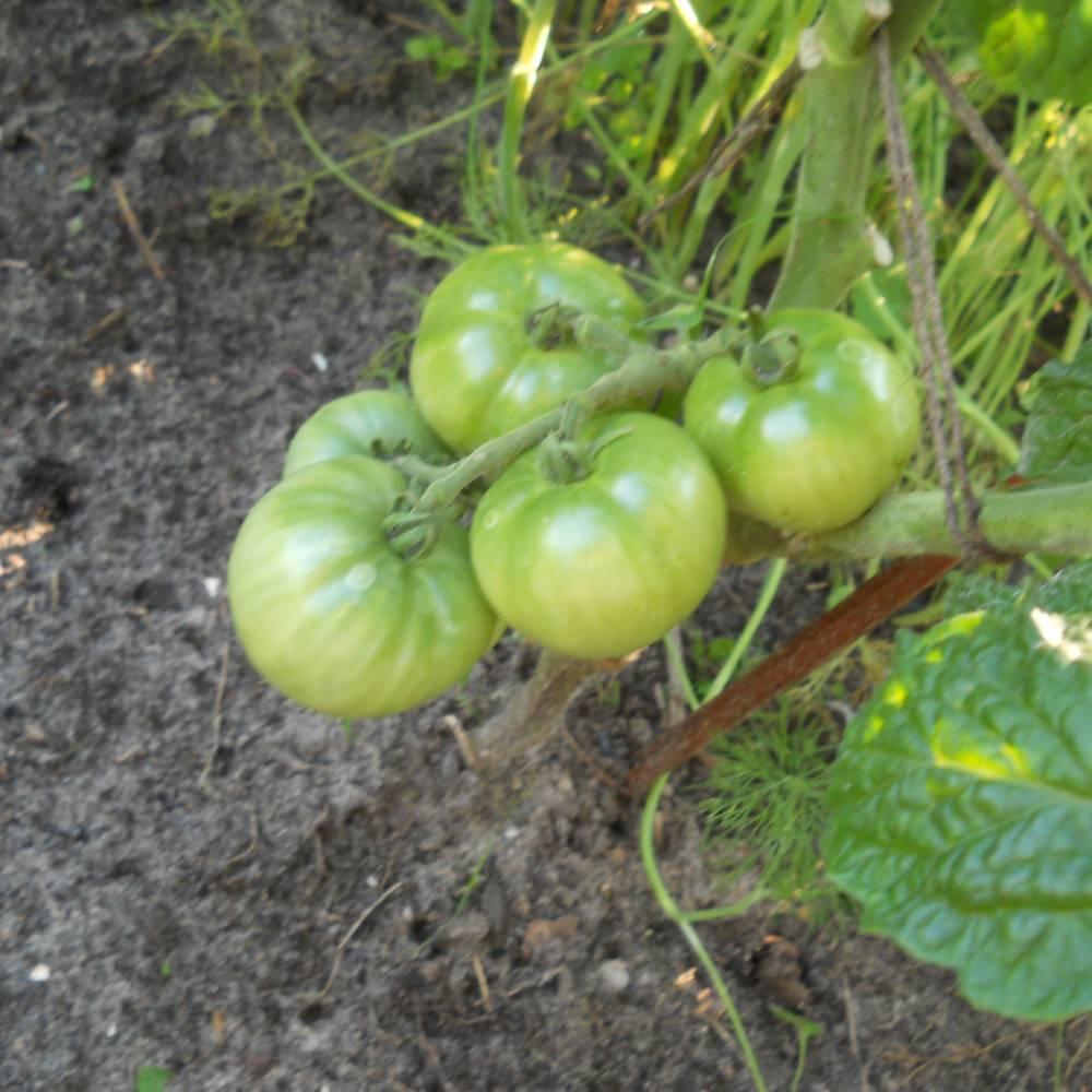 отобрали помидоры белый налив фото и выращивание параметры пробуя