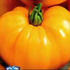 томат оранжевый слон фото отзывы